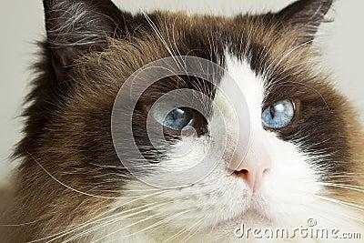 Siamese Ragdoll Cat