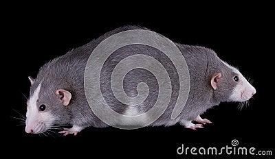Siamese Twin Rats