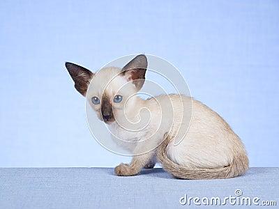 Siamesisches Kätzchen auf blauem Hintergrund