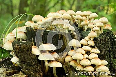 Siarczany czub grzyb