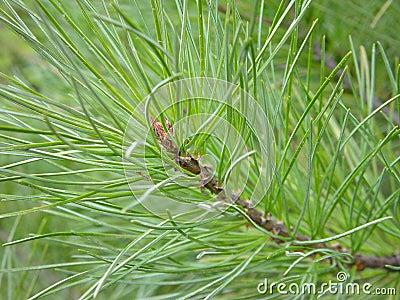 Siberean pine
