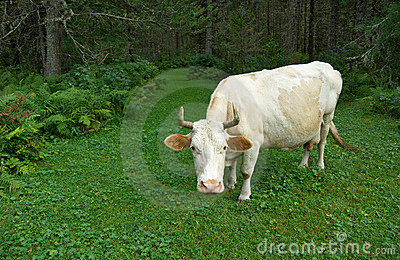 Siberia. White cow in the green forest.