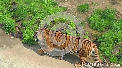 siberian звеец тигра Одичалый тигр в aviary Мясоед в зоологическом парке сток-видео