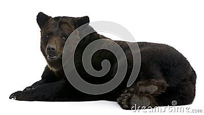 Siberian Brown Bear, 12 years old, lying