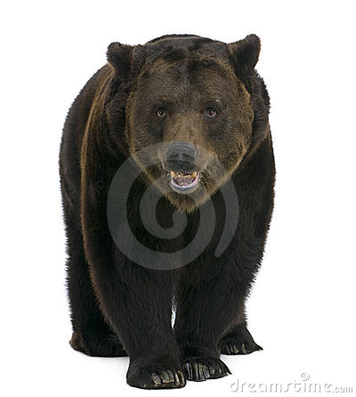 Siberian Brown Bear, 12 Years Old, Walking Stock Photos - Image: 14847303