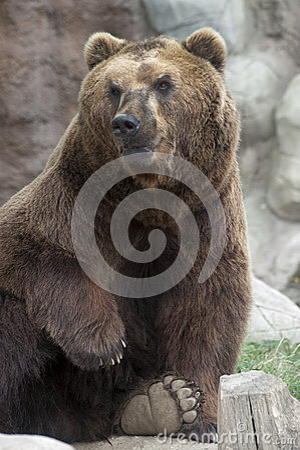 Siberian Brown Bear