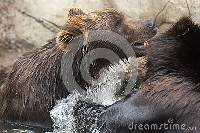 Siberian Brown Bears