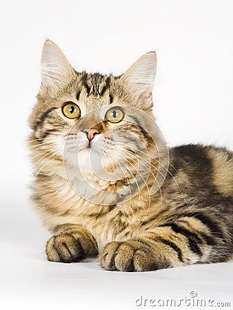 Free Siberian Cat Royalty Free Stock Photography - 13941127