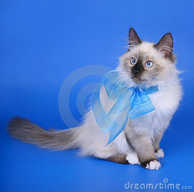 Siberian Cats With Blue Ribbon. Royalty Free Stock Photography - Image: 21648527