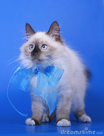 Siberian cats with blue ribbon.