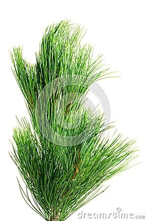 Siberian cedar branch