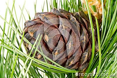 Siberian cedar branch and cone