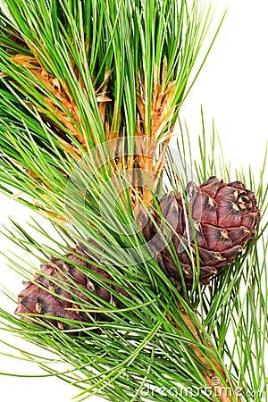 Siberian cedar with cone