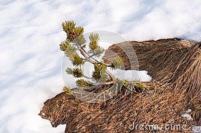 Siberian dwarf pine and snow