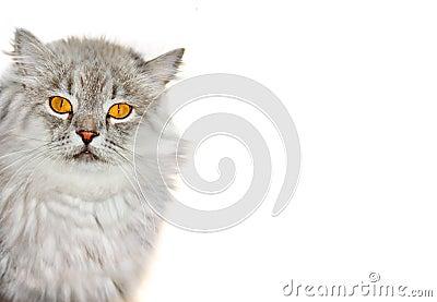 Siberian fluffy cat