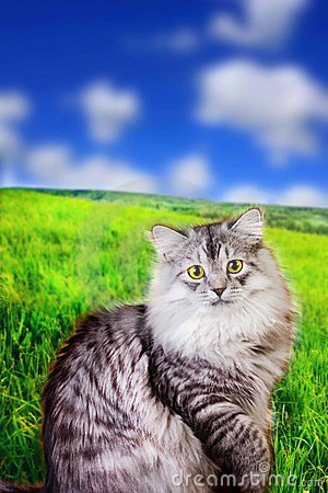 Siberian fluffy cat outdoores