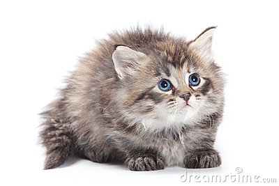 Siberian  furry kitten