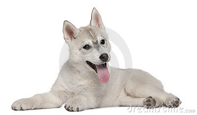 Siberian Husky, 12 weeks old, lying