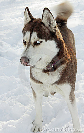 Free Siberian Husky Stock Images - 12270174