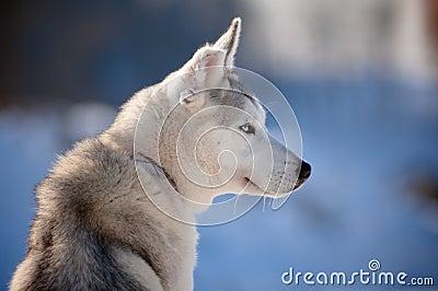 Siberian husky with cut ear