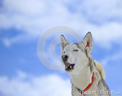 Siberian husky dog barking
