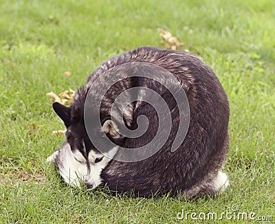 Siberian Husky in grass licking itself
