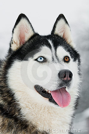 Siberian Husky Head Portrait At Stock Image Image 17395661