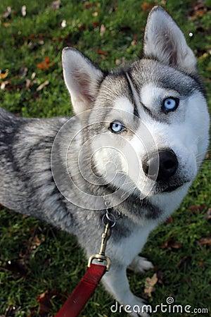 Siberian husky looking up