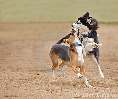 Siberian Husky playing / fighting at a park.