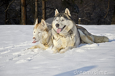 Siberian husky on snow