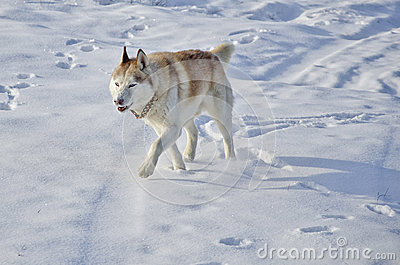 Siberian husky in a snow field