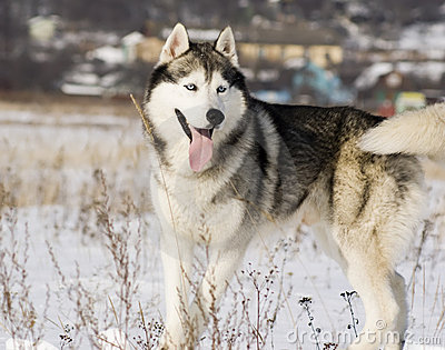 Siberian husky in a steppe landscape