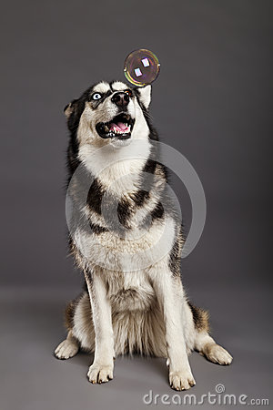 Siberian Husky Studio Portrait with Floating Bubble