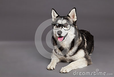 Siberian Husky Studio Portrait with Hipster Glasses