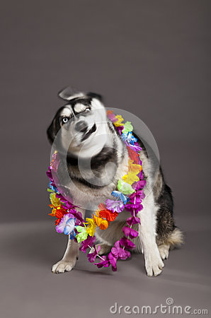 Siberian Husky Studio Portrait Shaking Head with Flower Necklace