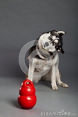 Siberian Husky Studio Portrait Shaking Head with Toy