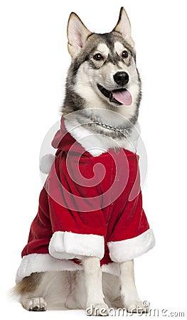 Siberian Husky wearing Santa outfit