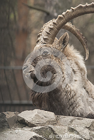 Free Siberian Ibex Royalty Free Stock Photography - 39981517