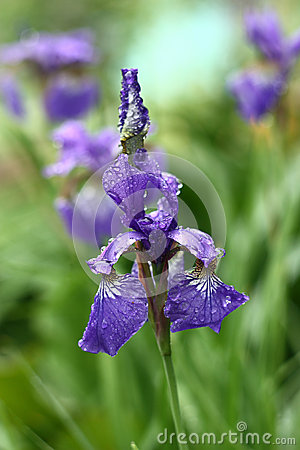 The siberian iris after a rain.