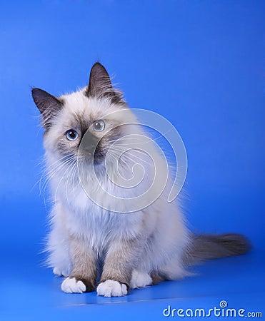 Free Siberian Kitten. Stock Photography - 21648502