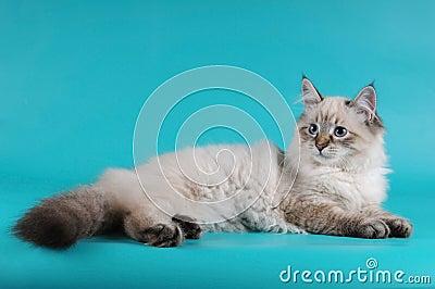Siberian kitten lying