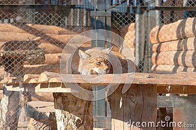 The Siberian lynx