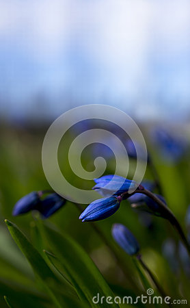 Siberian squill buds