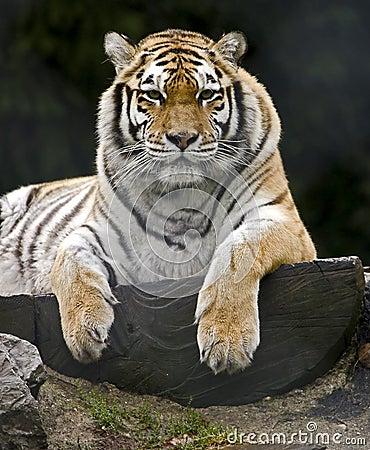 Siberian tiger 8