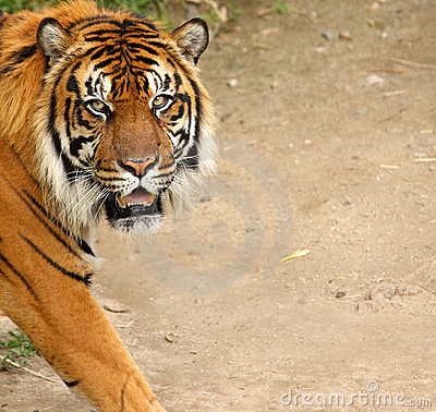Siberian Tiger with Copy Space