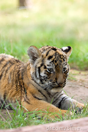 Free Siberian Tiger Cub Royalty Free Stock Photo - 5970025