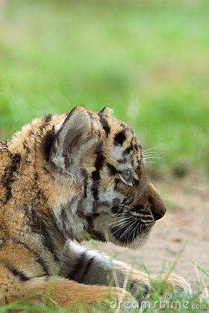 Free Siberian Tiger Cub Royalty Free Stock Images - 5970059