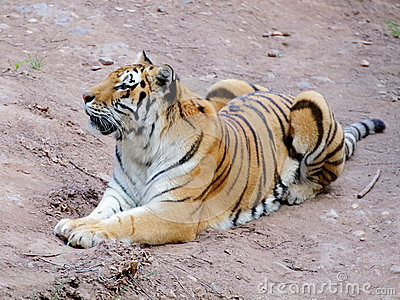 Siberian tiger on the ground portrait