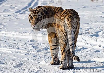 Siberian Tiger Looking Back