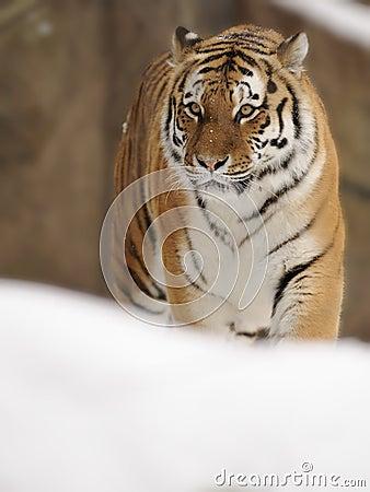 Siberian Tiger ( Panthera tigris altaica )